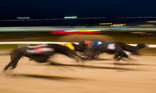 Greyhounds can reach a fast speed in just seconds - as you can see in this picture as they blur past the camera